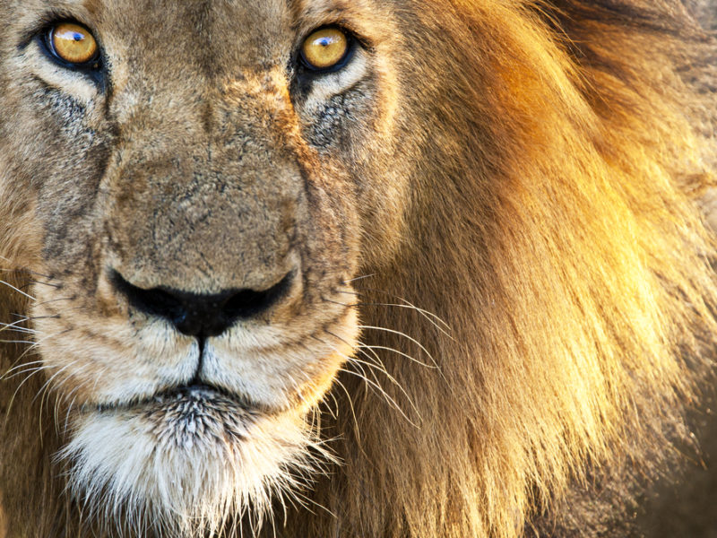 Divine Intervention: Lions Save Christians from Islamic Militants!