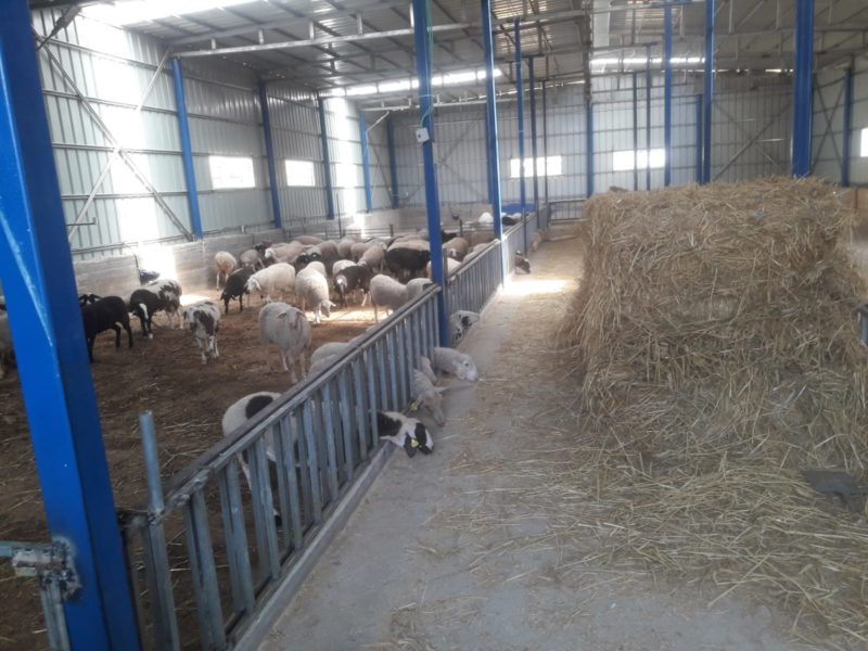 Stolen Torah Scrolls Found in Arab Animal Pen