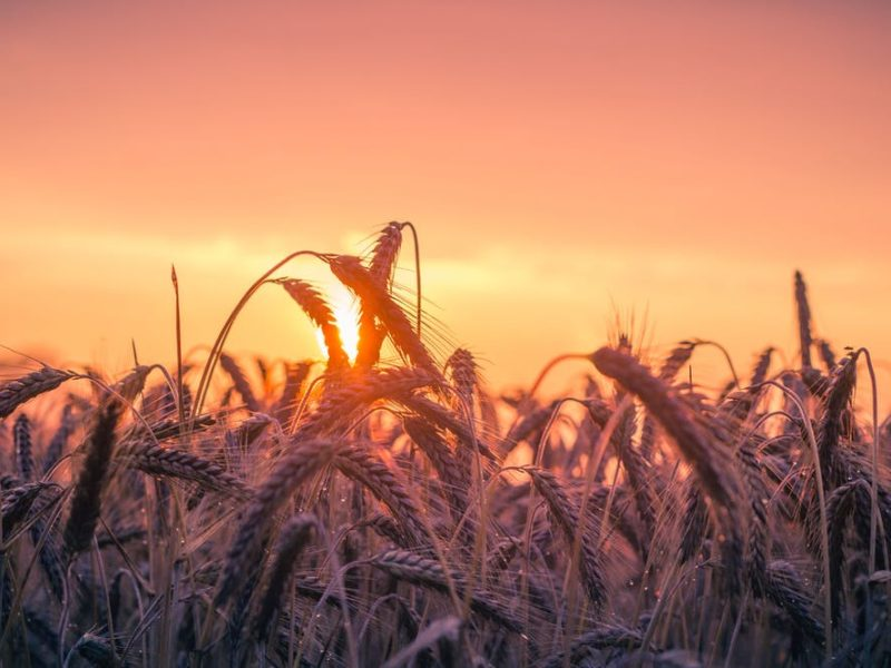 The Wheat and the Tares: A Coming Harvest