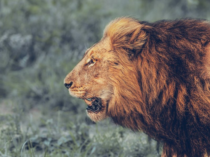 The Lion Who Roars